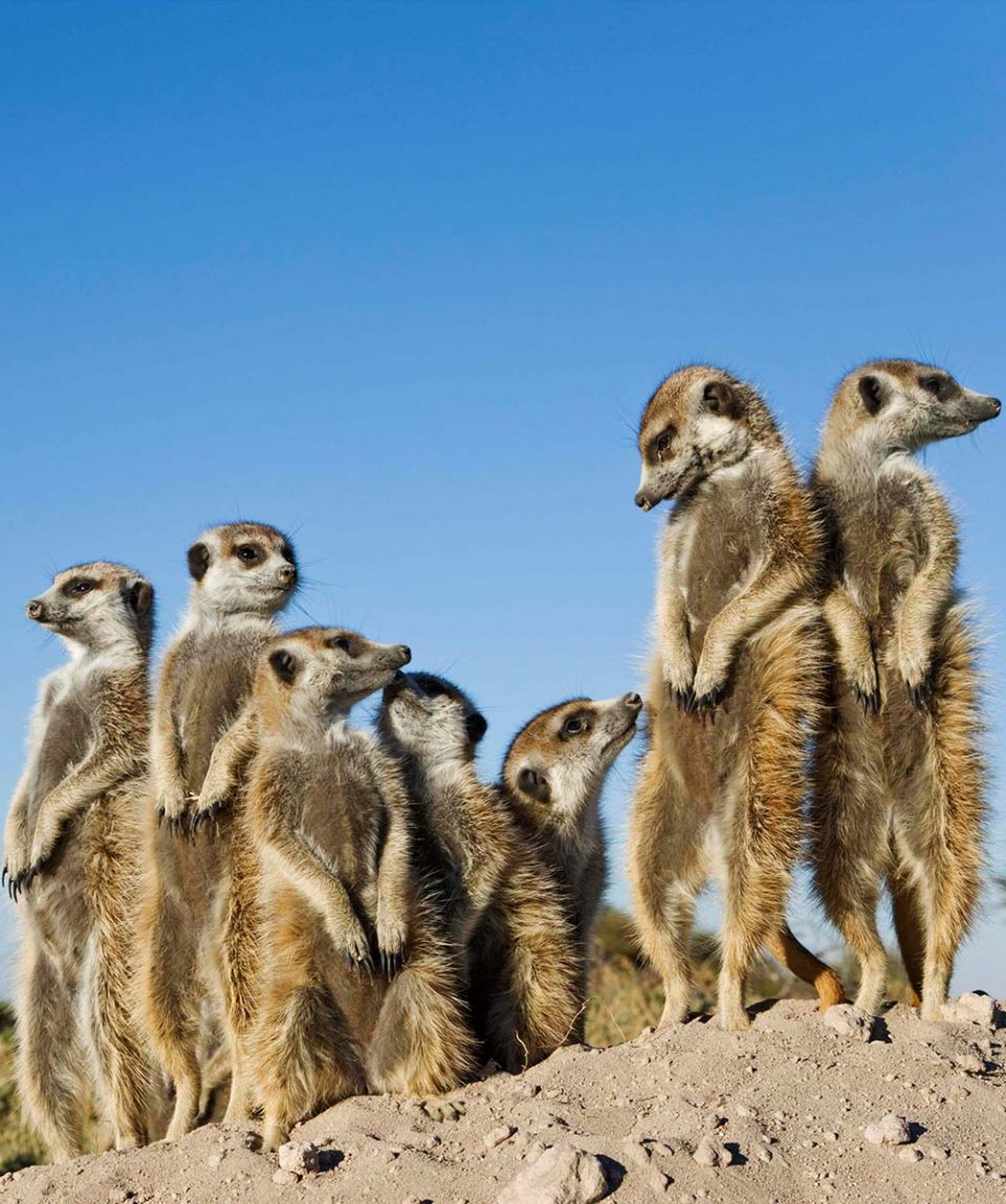 Suricate / Meerkat (Suricata suricatta) with tourists.
