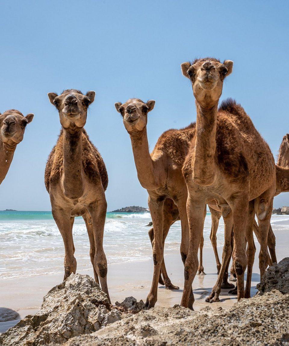 ARR-Reisen_Oman_Kamele-am-Strand
